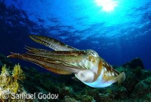 Cuttlefish in Puerto Del Carmen