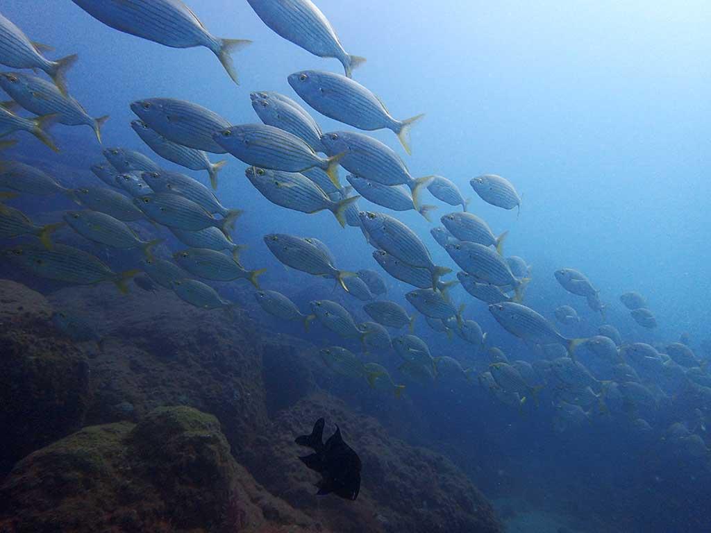 Banc de daurades vu durant une plongé au harbour wall de Lanzarote, pendant le cours PADI open water de phil