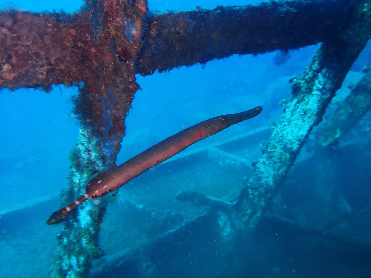 Poisson tyrompette spotter durant la plongée sur épaves durant le cours plongeur Advanced open waterde IAN à Lanzarote!